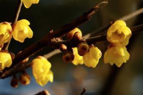 上海蠟梅的最佳觀賞期是什么時候 上海蠟梅觀賞地有哪些