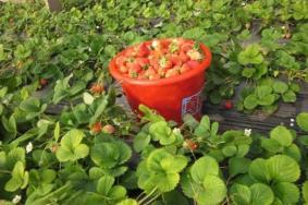 2020上海草莓采摘農家樂哪里好玩 上海草莓采摘基地