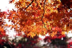 上海郊區紅葉地圖 上海紅葉最佳觀賞時間