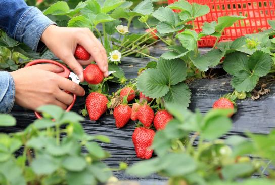 长沙草莓采摘园在哪-联系电话及交通指南