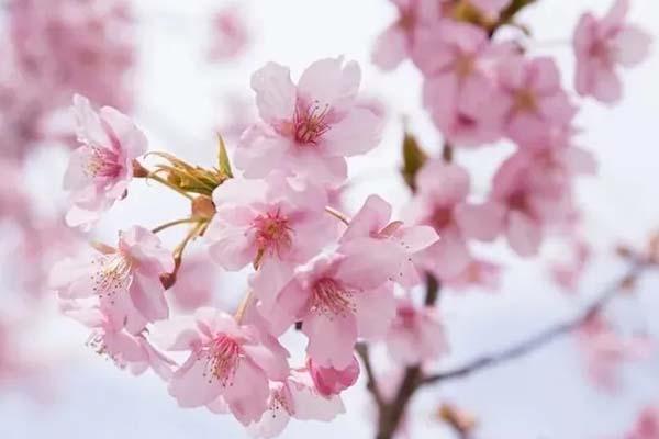 樱花怎么拍好看 樱花拍照技巧