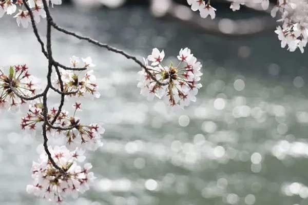 櫻花怎么拍好看 櫻花拍照技巧