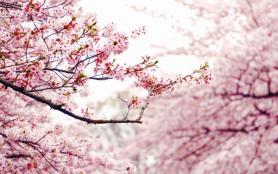 2021長豐櫻花小鎮什么時候開放 合肥長豐櫻花哪里有