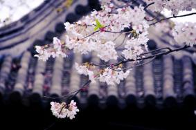 无锡樱花去哪里看-最佳观赏地点
