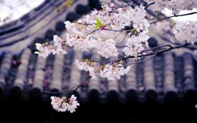 無錫櫻花去哪里看-最佳觀賞地點