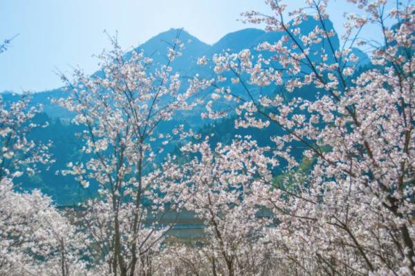 宜昌櫻花谷風景區在哪里 2021宜昌賞櫻花的地點推薦