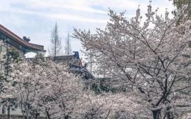 2021年南京雞鳴寺櫻花什么時候開 雞鳴寺櫻花幾月到幾月