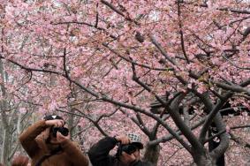 2021上海櫻花節什么時候開始 附交通指南