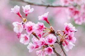 上海賞櫻花的公園在哪里-賞櫻景點推薦
