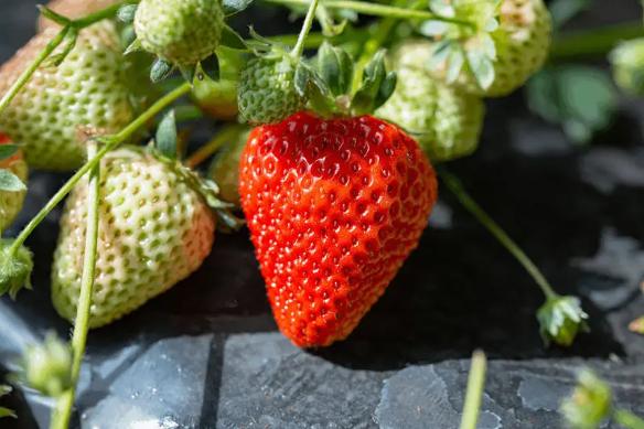 北京草莓采摘園一覽表 2021北京采摘草莓好去處