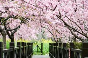 2021上海顧村公園櫻花節活動有哪些-六大主題活動