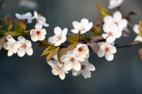 南昌櫻花在哪里看 2021南昌哪里可以賞花