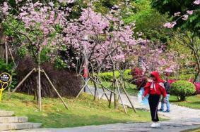 2021廈門看櫻花應該去哪里 廈門賞櫻花的地方