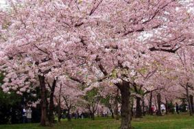 上海看櫻花的地方有哪些 上海賞櫻地推薦2021