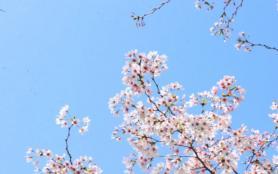2021貴安櫻花園人多嗎 貴州櫻花景點有哪些