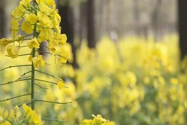 2021蘇州天平山賞油菜花指南-賞花期及出行指南