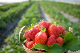 2021中济宁心店镇草莓采摘节活动时间及详情 草莓什么季节成熟