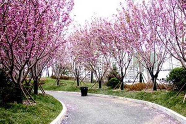 2021蘇州櫻花大道有哪些-櫻花開放時間