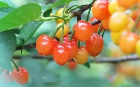 2021青白江櫻桃什么時候成熟 青白江櫻桃采摘園在哪里