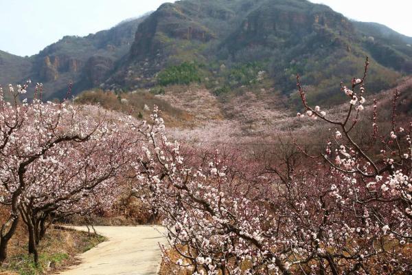 2021平谷北寨村杏花什么�r候�_-杏花最佳�^�p�r�g