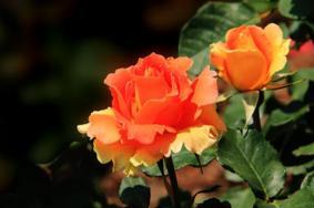 2021上海辰山植物園月季花展攻略-需要預約嗎