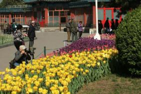 2021北京中山公园郁金香什么时候开-北京中山公园郁金香花展