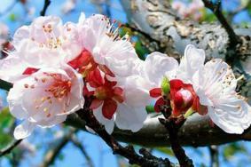 2021北京史家營鄉杏花季活動攻略-時間交通及活動內容