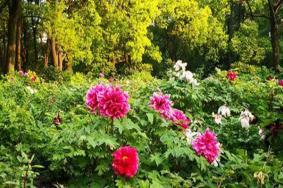 2021上海植物园牡丹园赏花攻略-观赏时间及门票