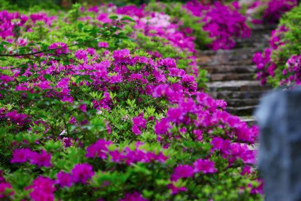 2021武漢東湖杜鵑花開了嗎-杜鵑花最佳觀賞期