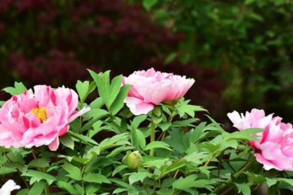 2021常州東坡公園牡丹花什么時候開-東坡公園牡丹花展