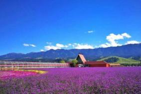 新疆薰衣草莊園在哪里 新疆油菜花在哪