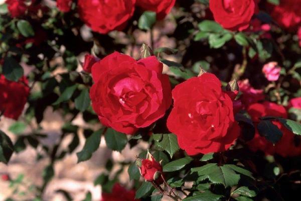 2021廣州從化玫瑰藝術文化節時間-地點-精彩看點