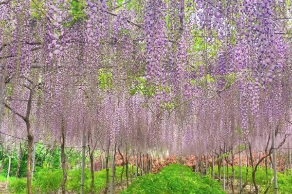 2021廣富林郊野公園紫藤花開了嗎-最佳觀賞期