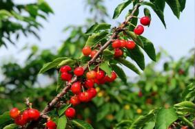 合肥櫻桃采摘在哪里-采摘時間及價格