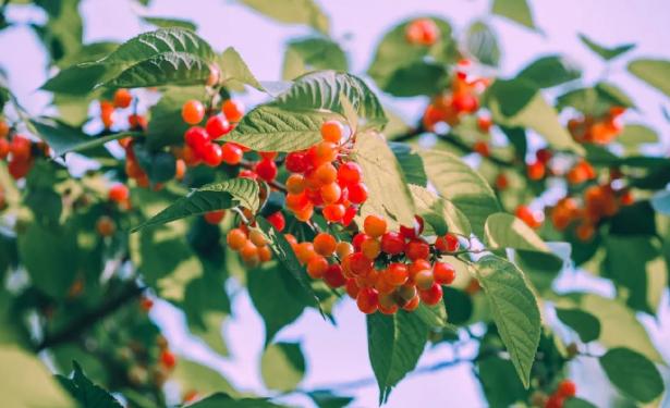 合肥樱桃采摘在哪里-采摘时间及价格