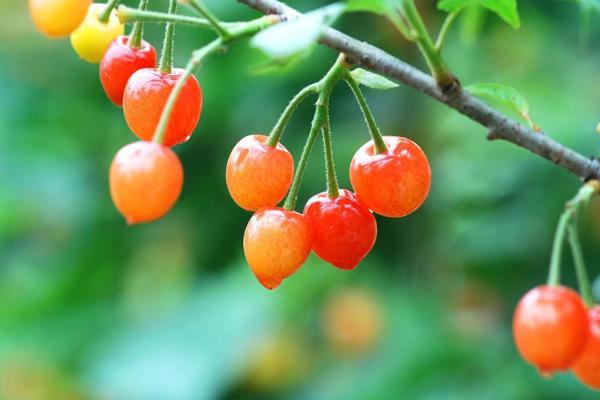 2021北宅櫻桃節是什么時候-活動介紹