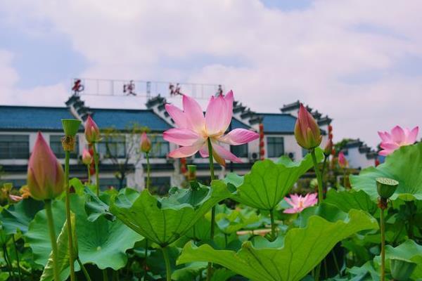 2021南京西埂蓮鄉荷花節時間-地址
