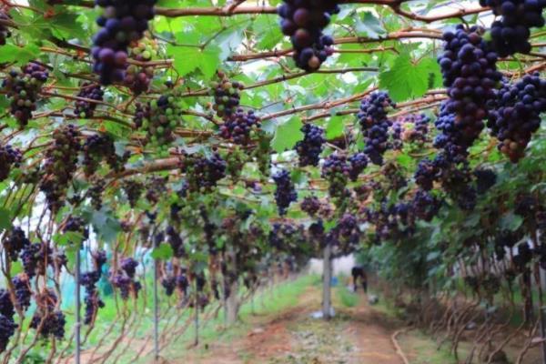 2021武漢葡萄采摘園在哪兒