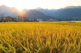 2021温州秋季绝美稻田景点推荐