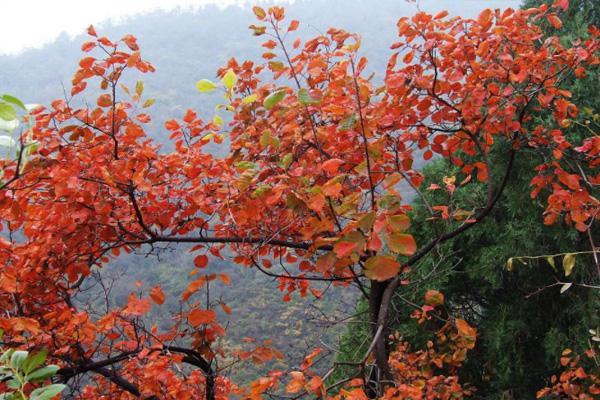 去香山看紅葉怎么走 北京香山紅葉紅了嗎