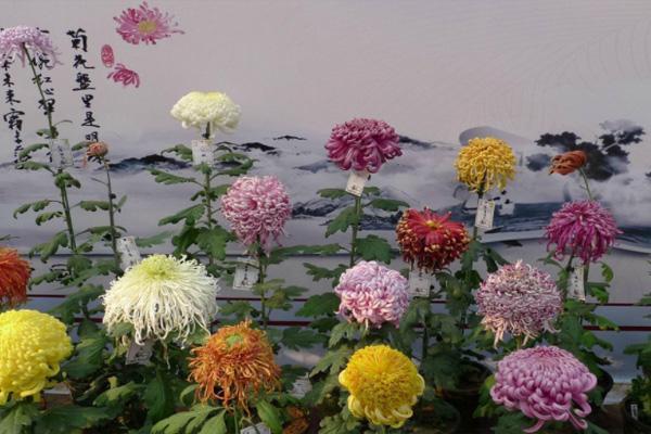 北京北海公園菊花展2021 北京賞菊花公園有哪些
