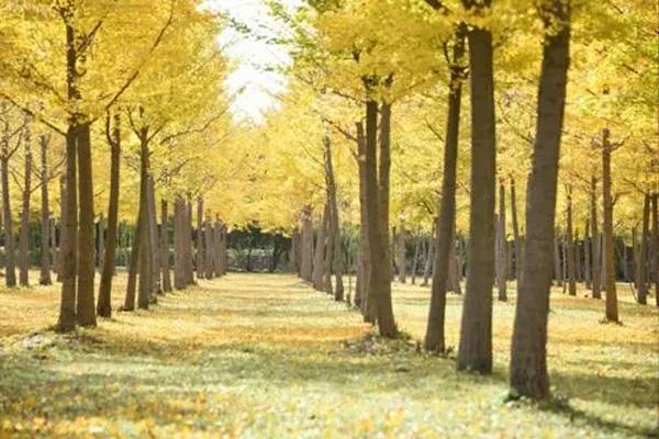 北京东坝郊野公园观赏银杏攻略